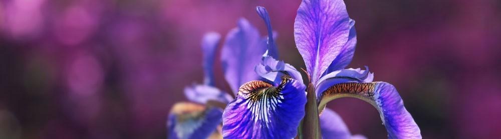 Iris Chic